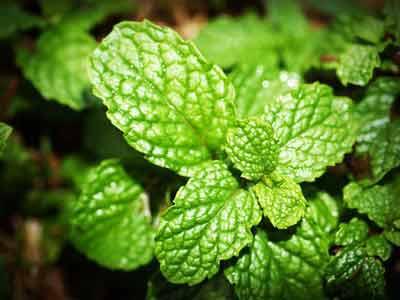 pepermunt remedie tegen hoofdpijn en migraine