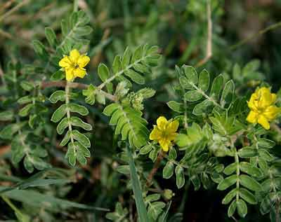 tribulus terrestris potentieverhogend middel