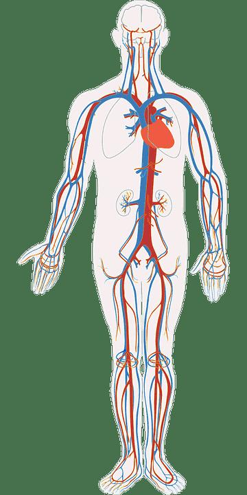bloedsomloop cholesterol