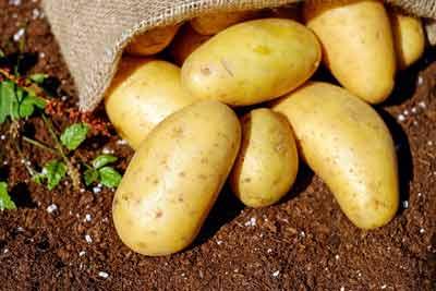 aardappelen zetmeel