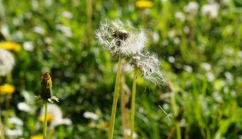 kruiden tegen hooikoorts