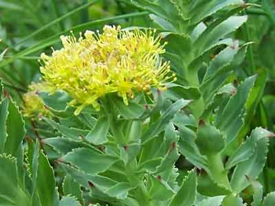rhodiola plant
