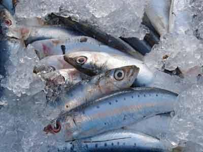 sardines visolie