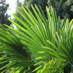 Wat Is De Werking Van Saw Palmetto?