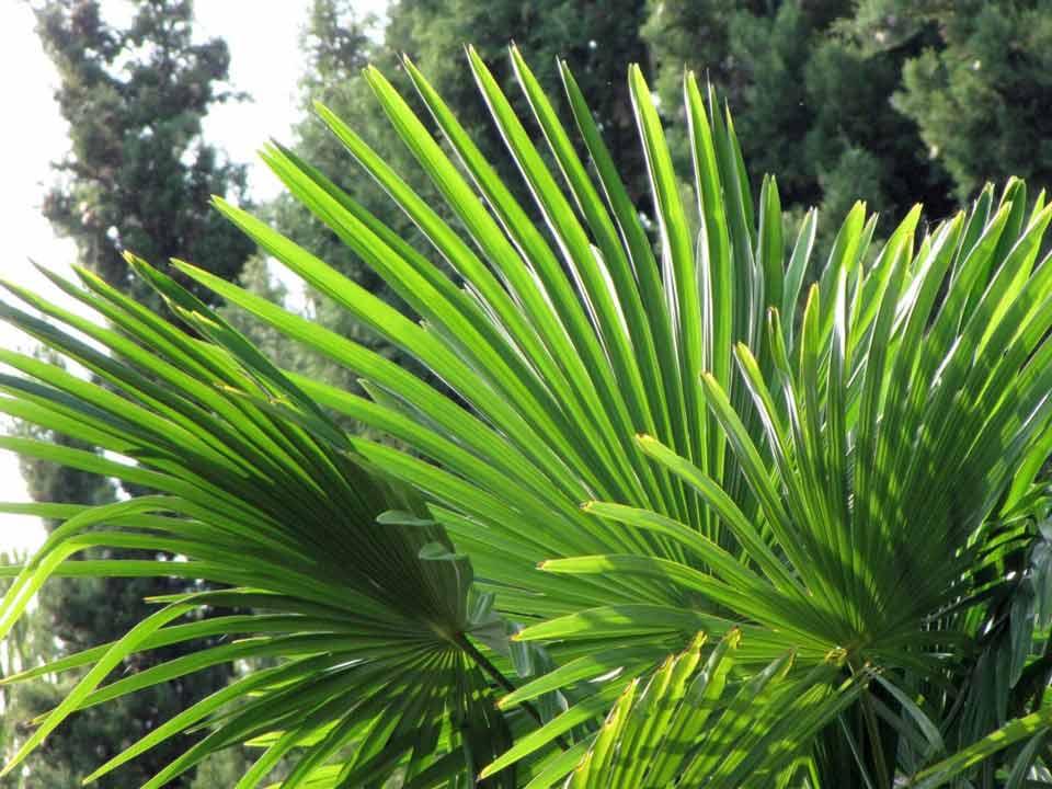 saw palmetto serenoa repens