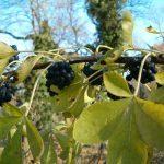 Russische Ginseng | Wat Is De Werking En Wat Zijn De Bijwerkingen?