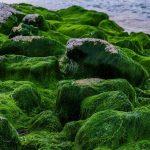 Wat Is Het Verschil Tussen Spirulina En Chlorella?