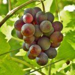 Is druivenpitolie gezond of niet?