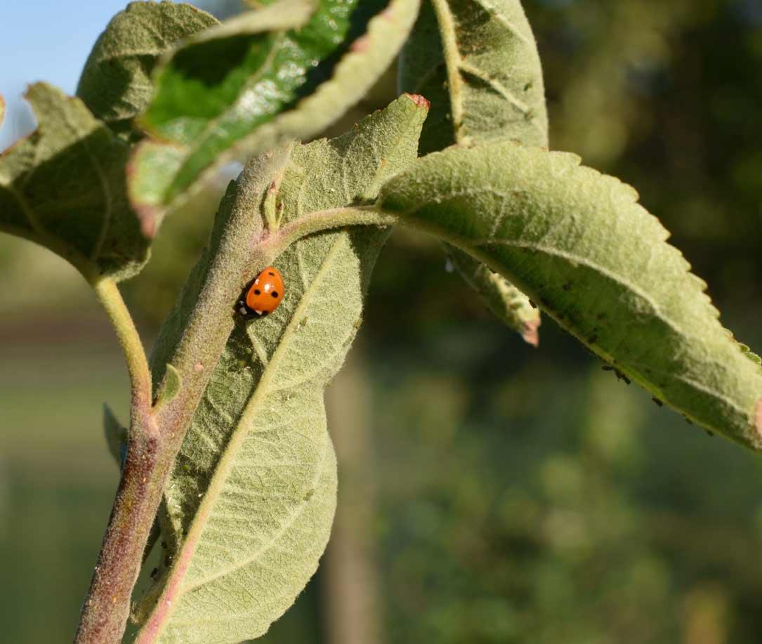 Hoe kunnen we bladluizen bestrijden op een natuurlijke manier?