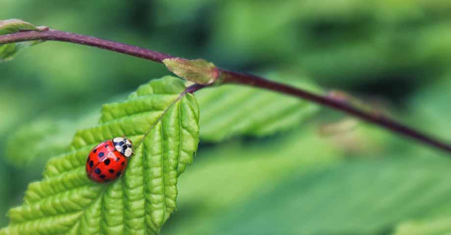 Hoe kunnen we lieveheersbeestjes aantrekken in de tuin?
